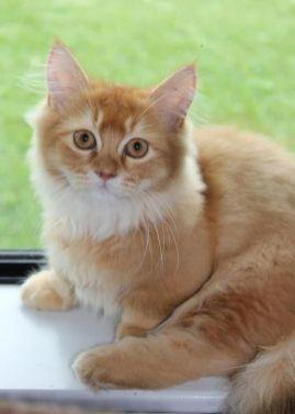 Gato Munchkin malhado claro