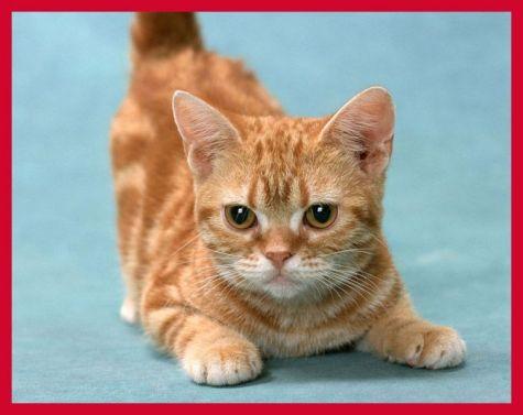 Gato Munchkin malhado