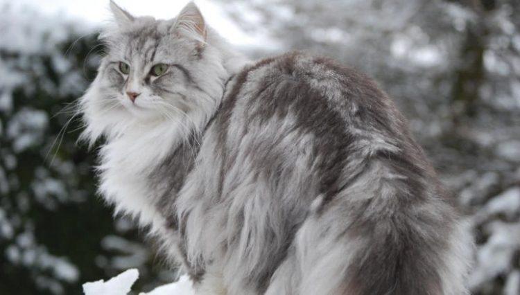 Gato Norueguês da Floresta cinza