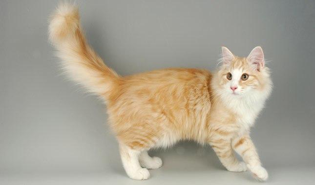 Gato Norueguês da Floresta amarelo