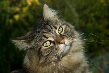 Gato Norueguês da Floresta close