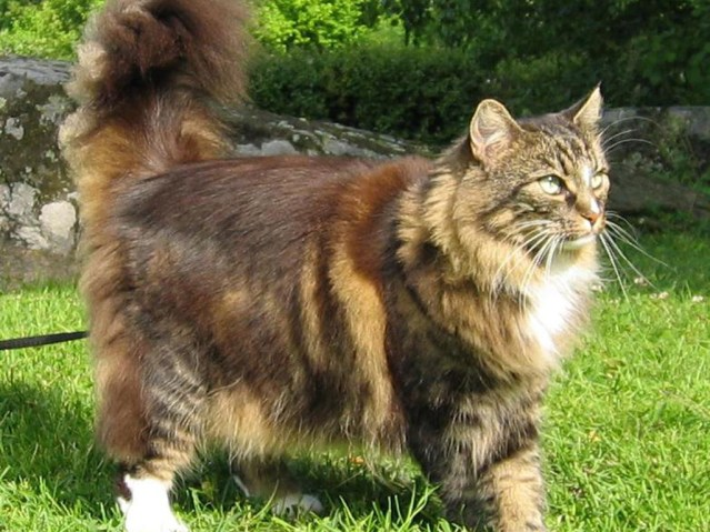Gato Norueguês da Floresta grande