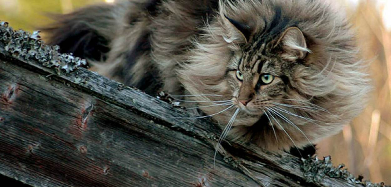 Gato Norueguês da Floresta peludo