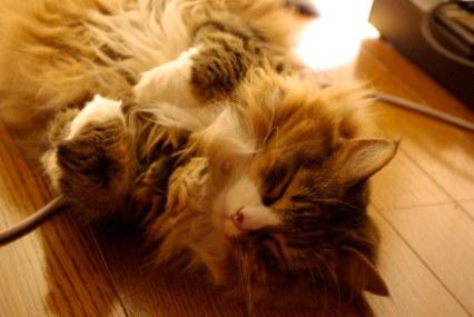 Gato Norueguês da Floresta dormindo