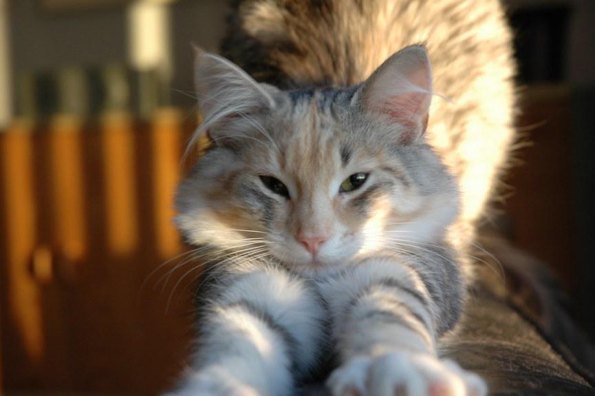 Gato Norueguês da Floresta pose