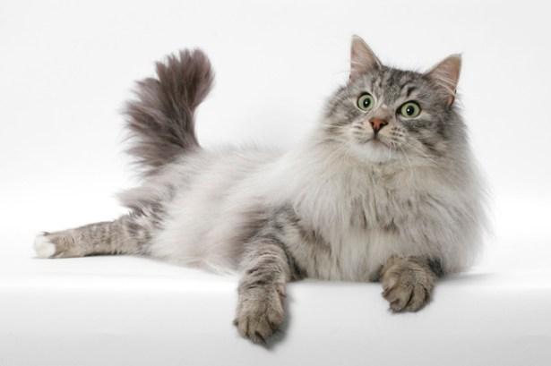Gato Norueguês da Floresta olhar