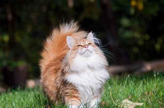 Gato Norueguês da Florest pose
