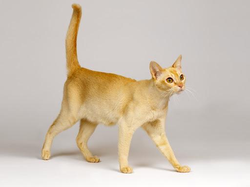 Gato Singapura amarelo