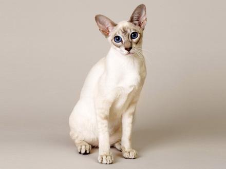 Gato Singapura sentado