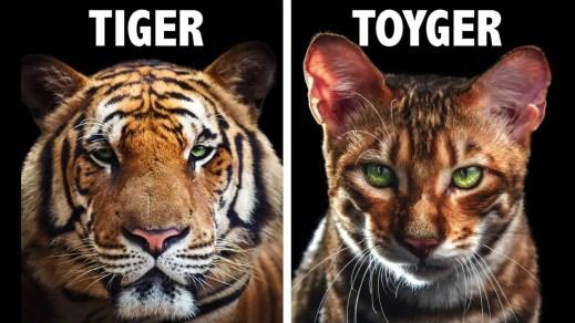 Gato Toyger comparação
