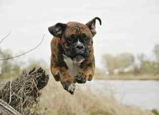 Dog Breed Boxer Care