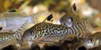 Bottom Dweller Fish eats pellet food