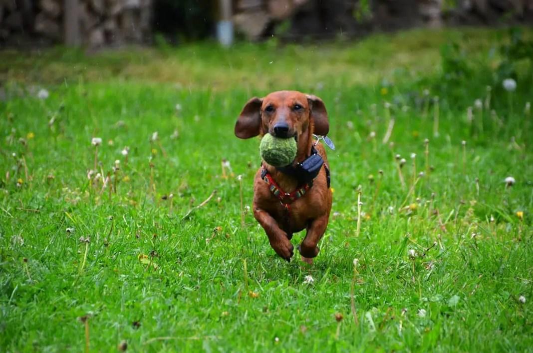 Dachshund dog training