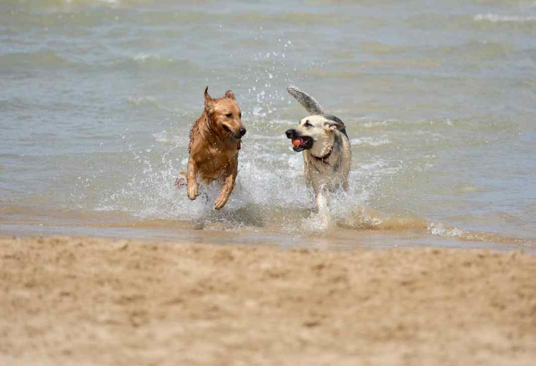 Dogs that need dog supplement playing