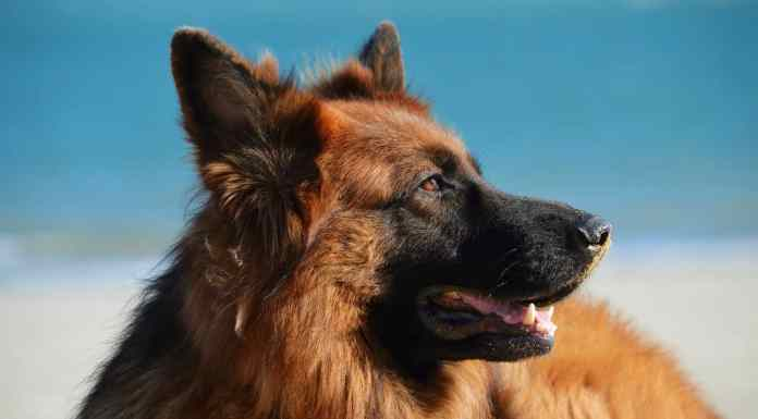 German Shepherd Care