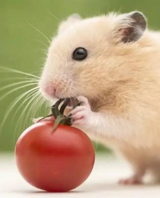 Mini Hamster eating