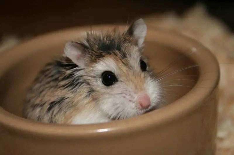 Roborovski hamster hamster in bowl
