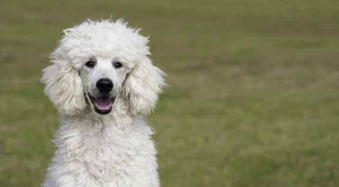 Breed Care for Poodles