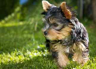 Dog Breed Yorkshire Terrier Care