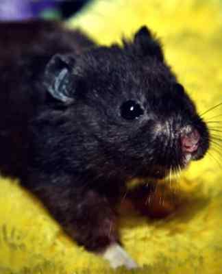 Black Bear Hamster on carpet