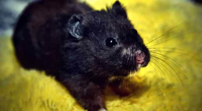 Black Bear Hamster on carpet