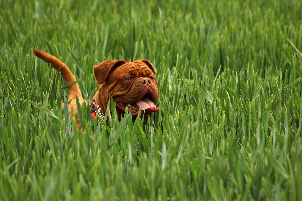 Healthy dog running in grass