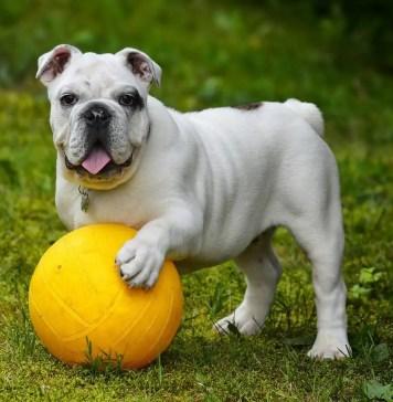 Bulldog Training