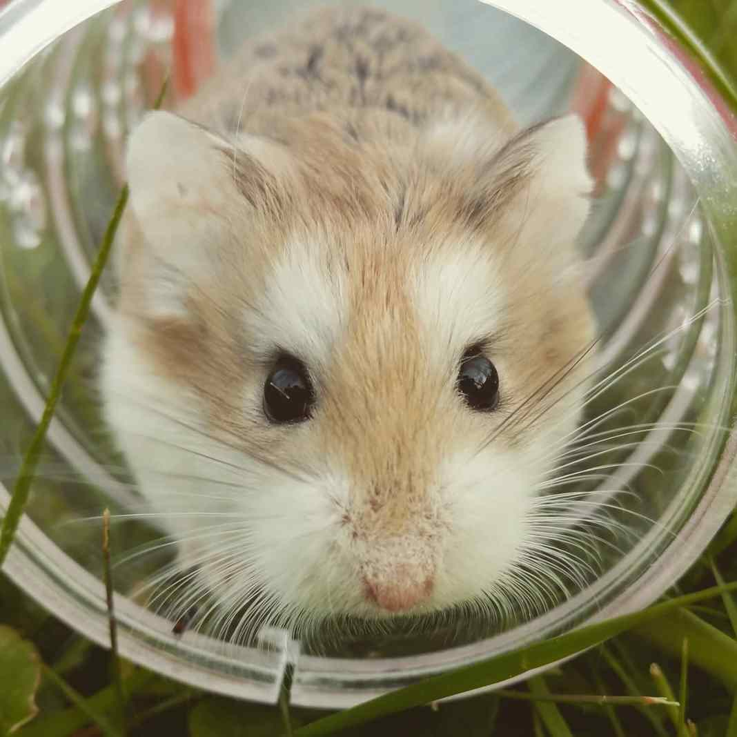 Young Hamster
