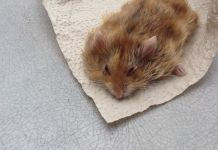 Hamster with wet tail