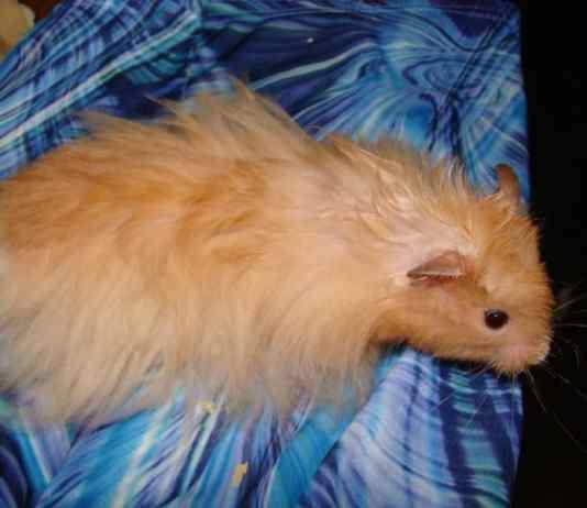 Long Haired Hamster
