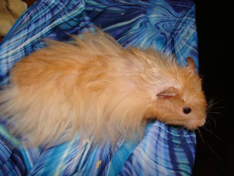 Long Haired Hamster