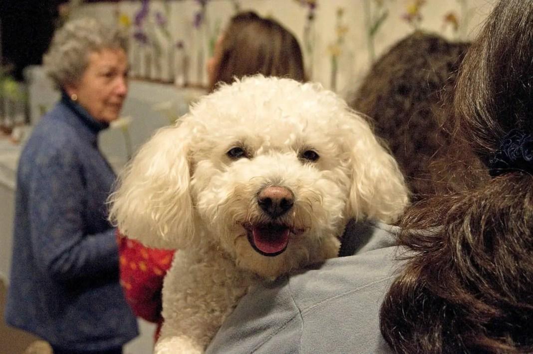 Poodle dog training