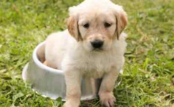 Puppy sits in his food bowl raw or cooked food