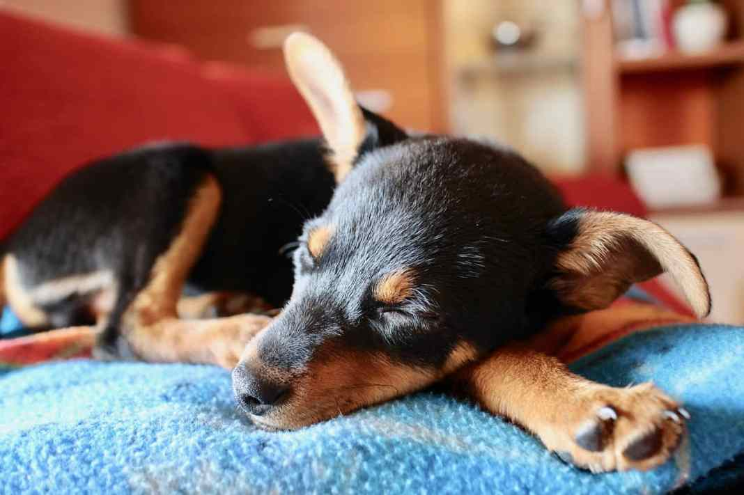 Puppy with large ears asleep