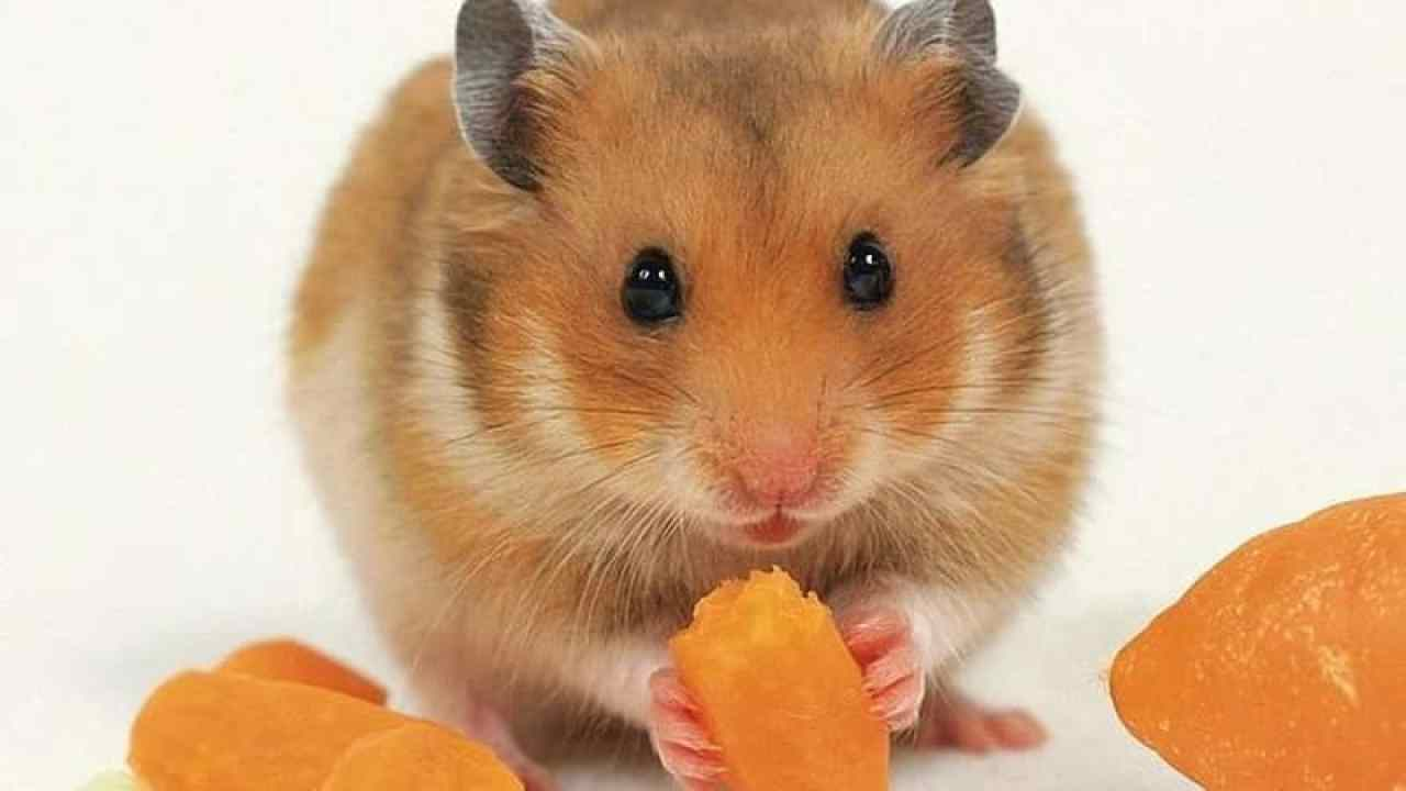 Golden Hamster Information and Tips for Caring for One