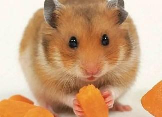 Syrian or golden hamster