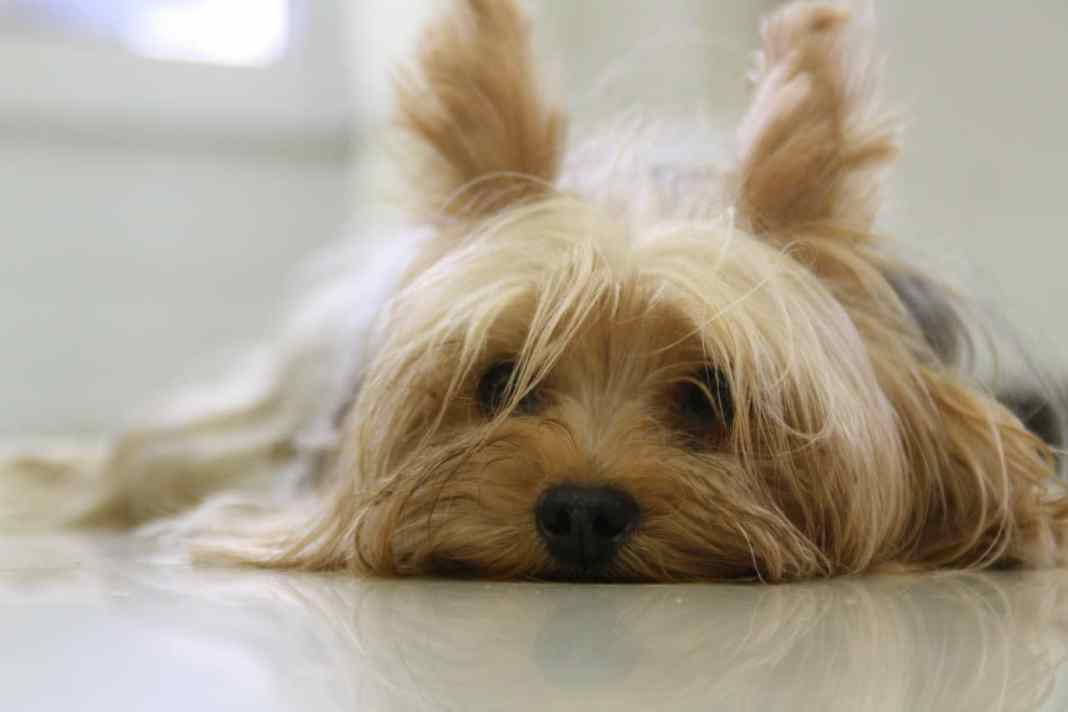 Yorkshire Terrier tired after training