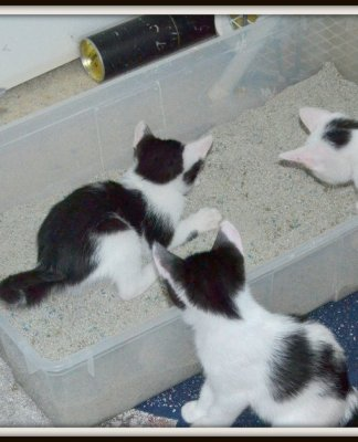 Kittens and litter box