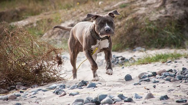 Best Leash For Pitbulls