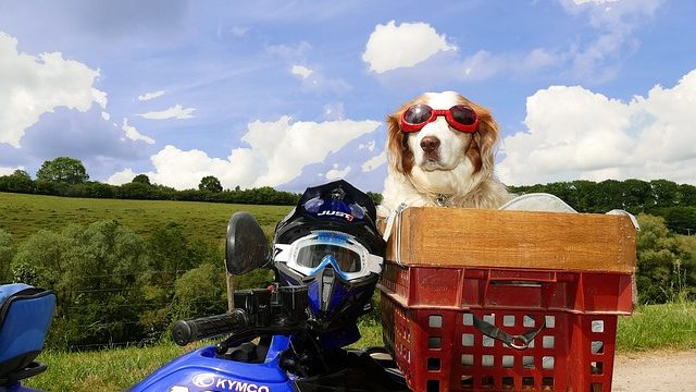 Dog on Motorcycle: Why Need Helmet, Carrier, Googles, Jacket?