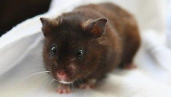 Can Hamsters Drink Milk