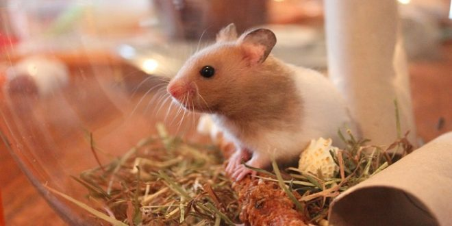 Can Hamsters Eat Grass