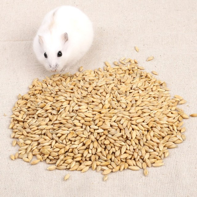 Can hamsters eat barley