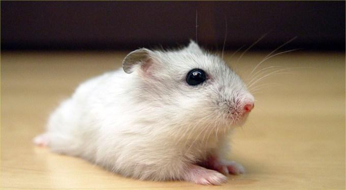 Winter White Russian Hamster