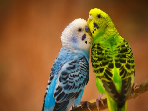All About Budgerigars