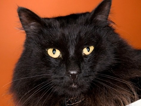 Black Cats and Halloween: A Scary Mix