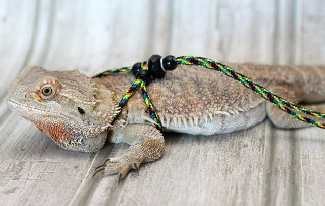 Can I Leash Train My Reptile