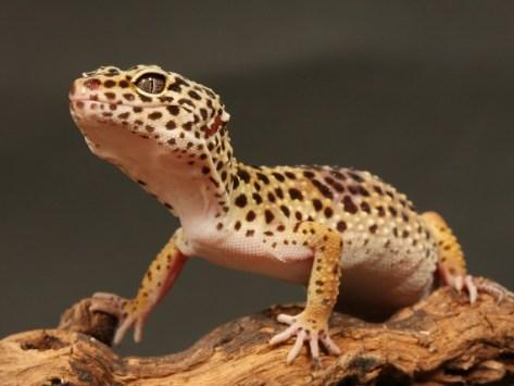 Gecko Bytes: Gecko Care