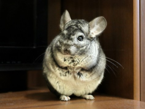 Have You Ever Seen Your Pet Chinchilla or Guinea Pig Popcorning?