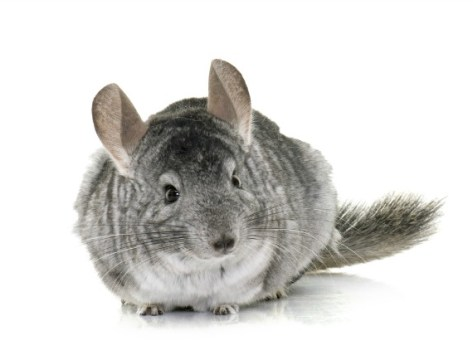 How to Give Your Chinchilla a Dust Bath